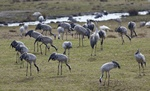 Common Crane (Grus grus)